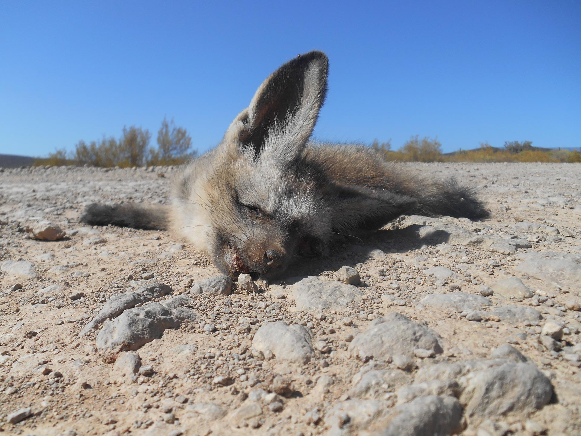 Bat eared Fox - Südafrika