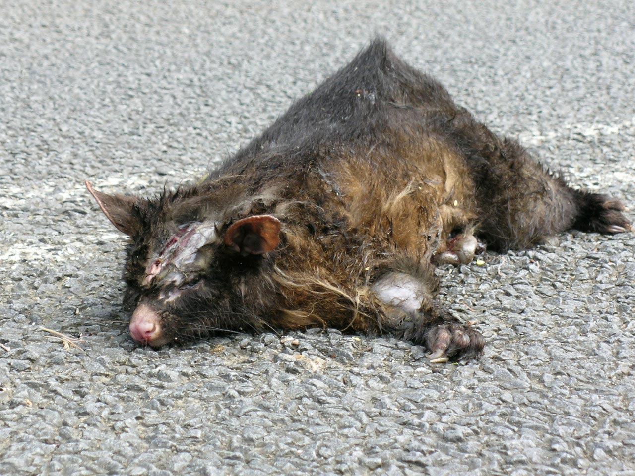 Possum 1 - Tasmanien