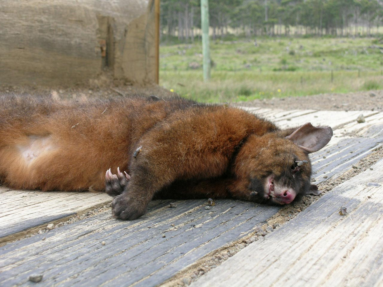 Possum 2 - Tassmanien