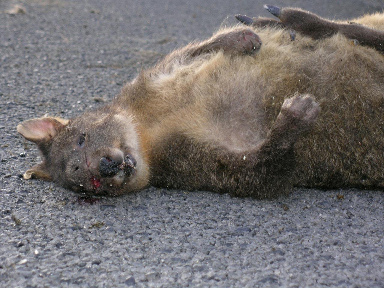 Wallaby - Tasmanien